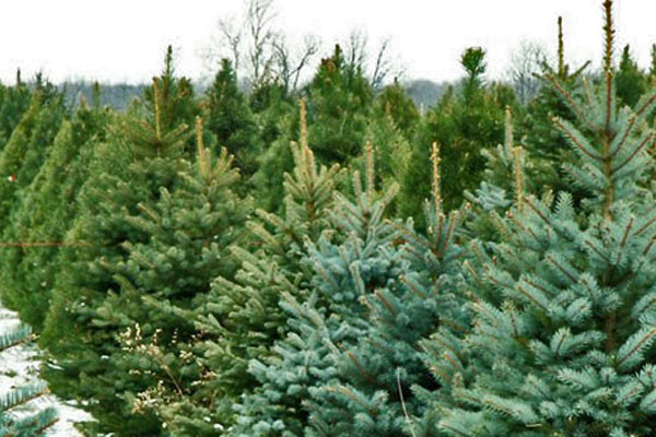 Estate grown Christmas Trees